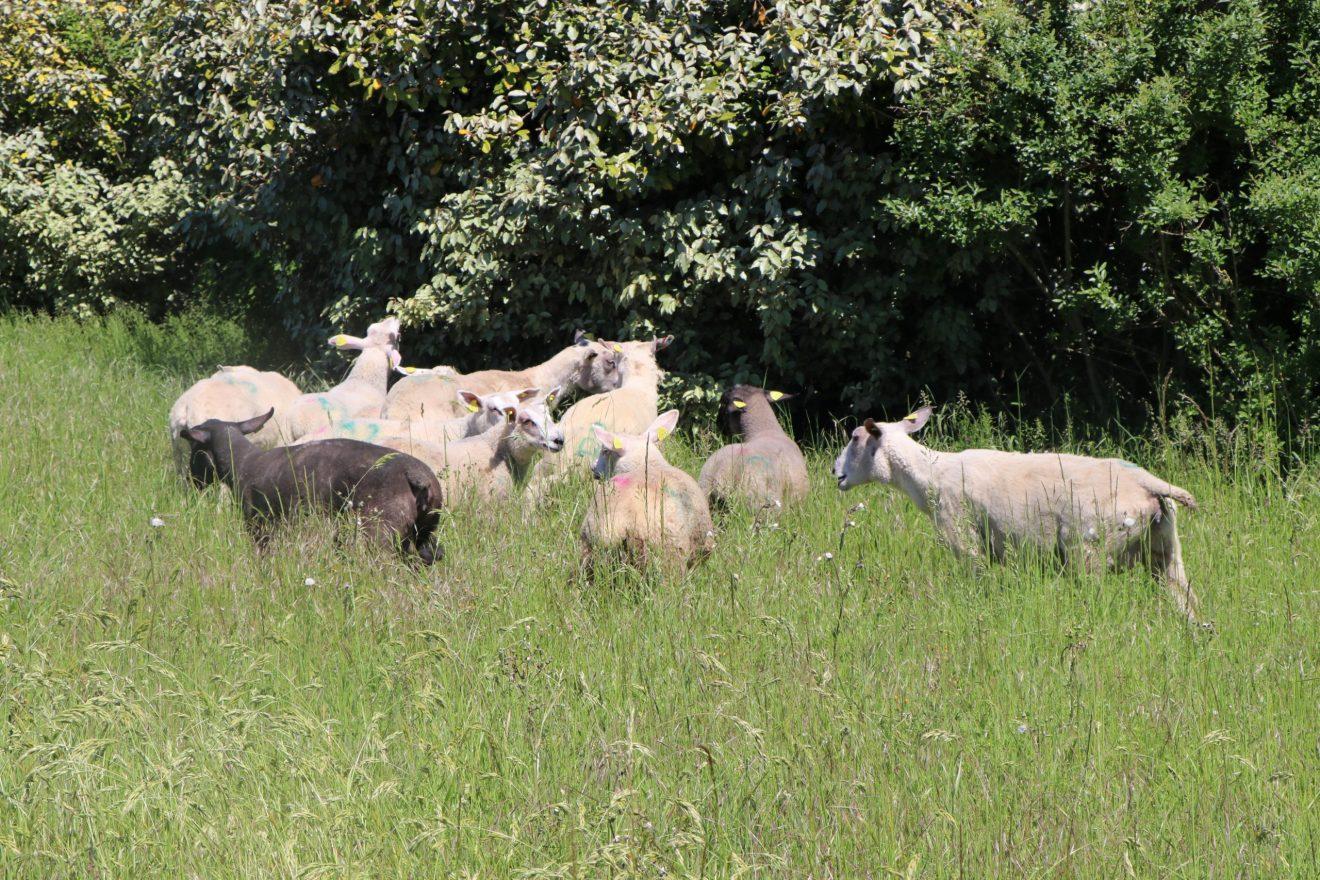 Les moutons arrivent sur la commune